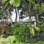 Cyathea Cooperi Scaly Tree Fern Buy Seeds At Rarepalmseeds Com