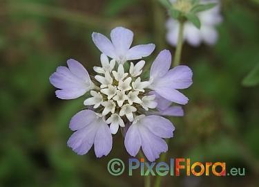Tremastelma palaestinum (Παλαιστίνη Pincushion Flower)