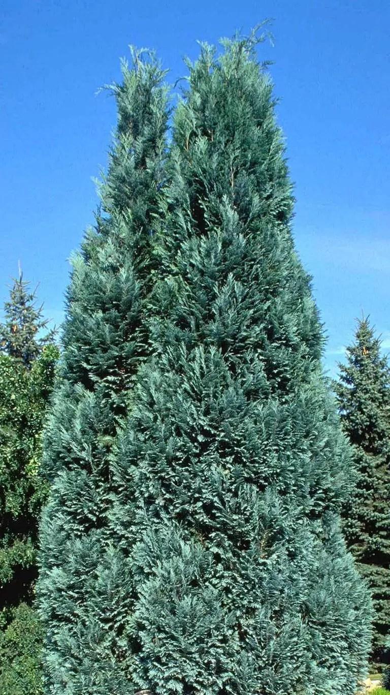 Chamaecyparis lawsoniana alumii - Plavi hamaciparis, hamaciparis alumi