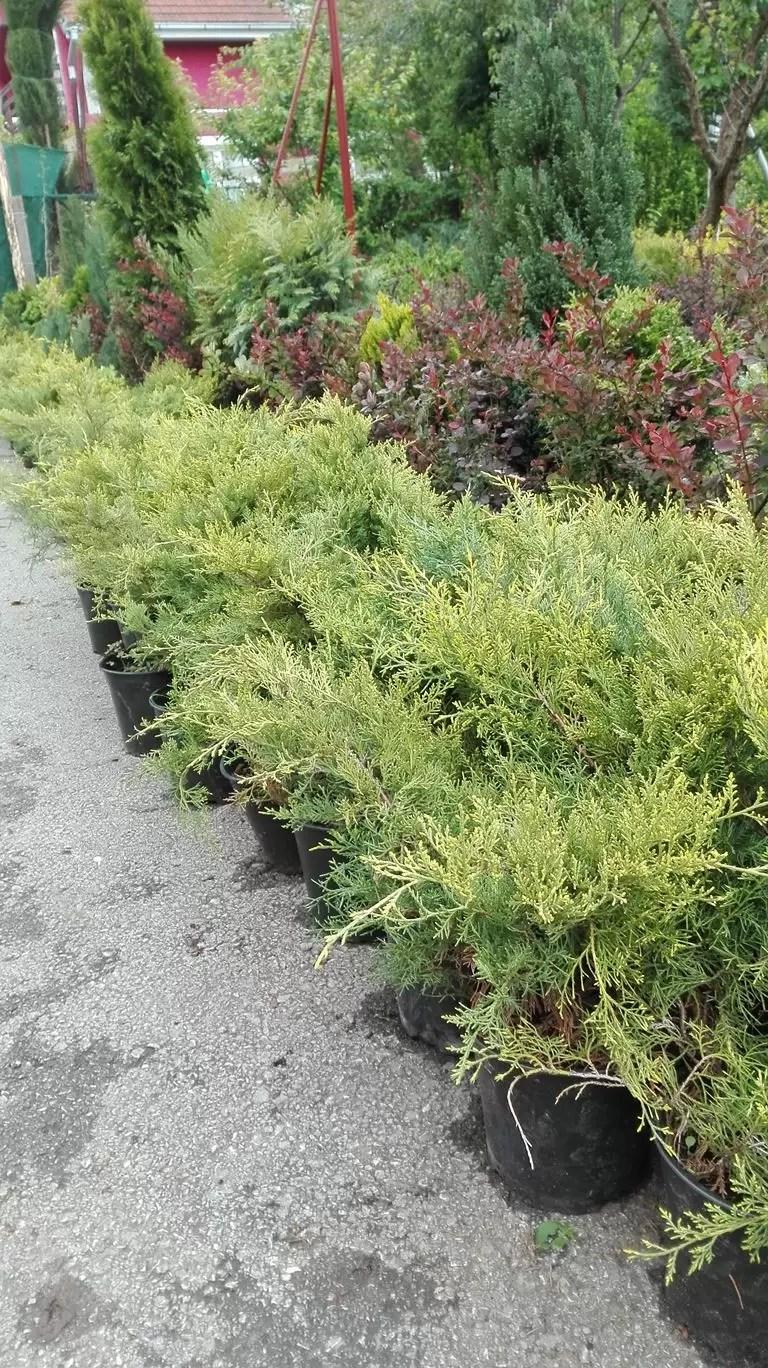 Juniperus old gold - Polegla kleka žute boje