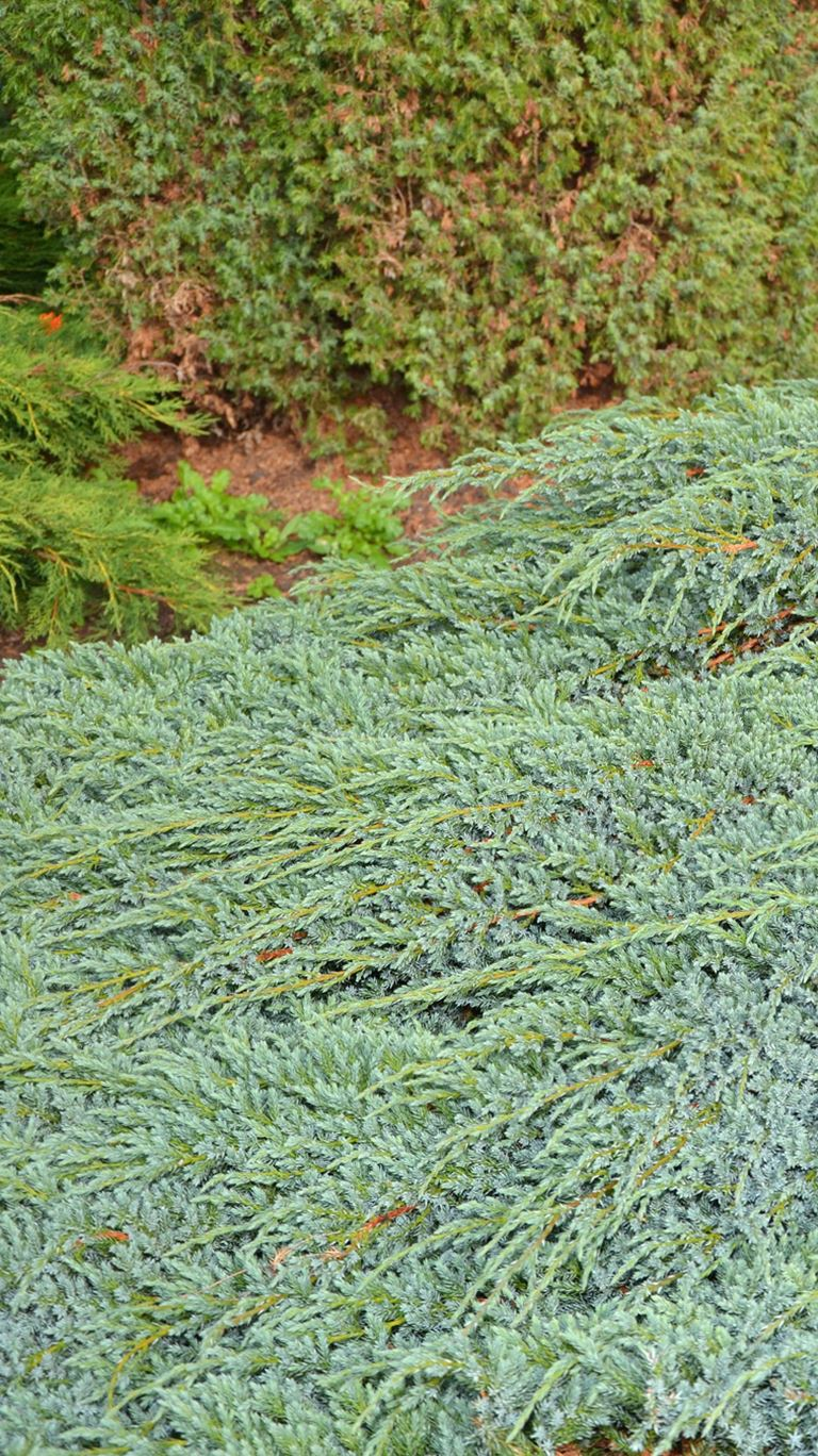 Juniperus squamata  blue carpet - Polegla plava kleka