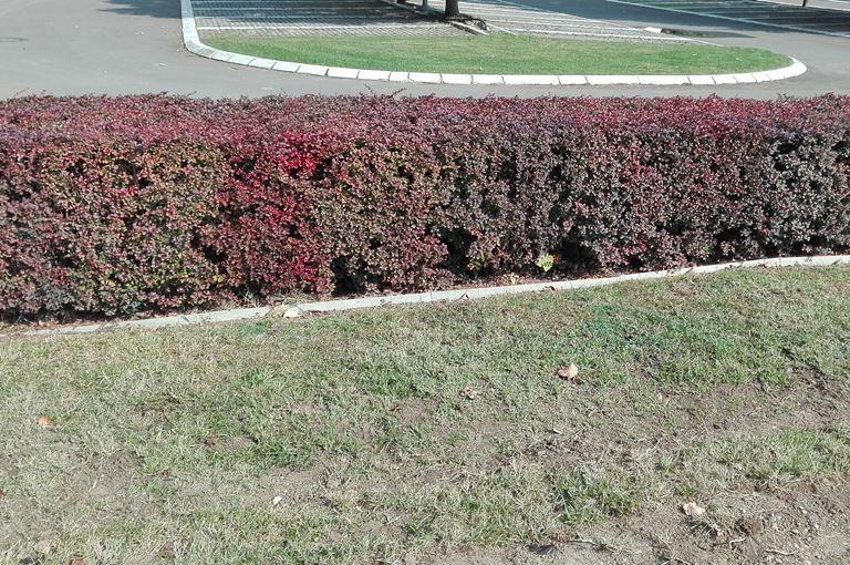 Berberis thumbergii attropurpurea - Ziva ograda Berberis crvena