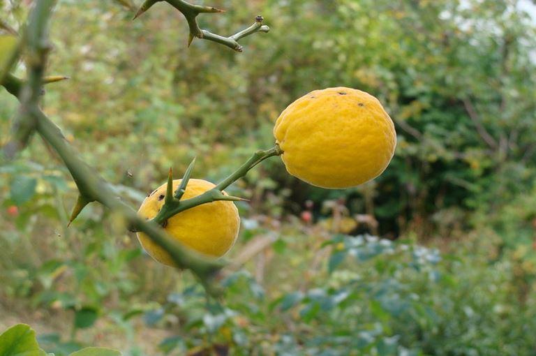 Limun sibirski