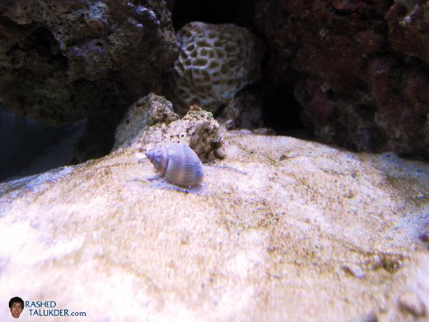 A Nassarius Snail looking for food