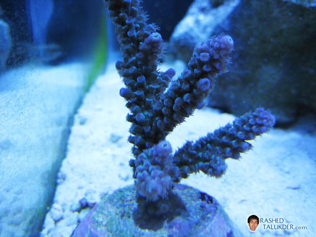 Blue Acropora Coral