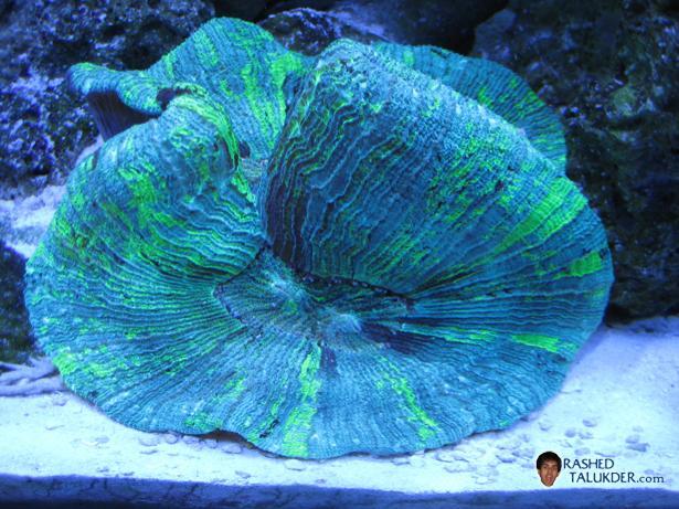 Metallic Green Brain Coral