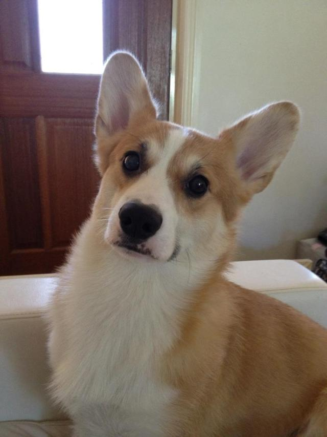 Ace Corgi Dog