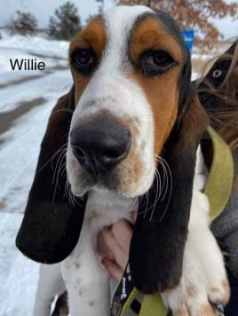 Willie the basset hound