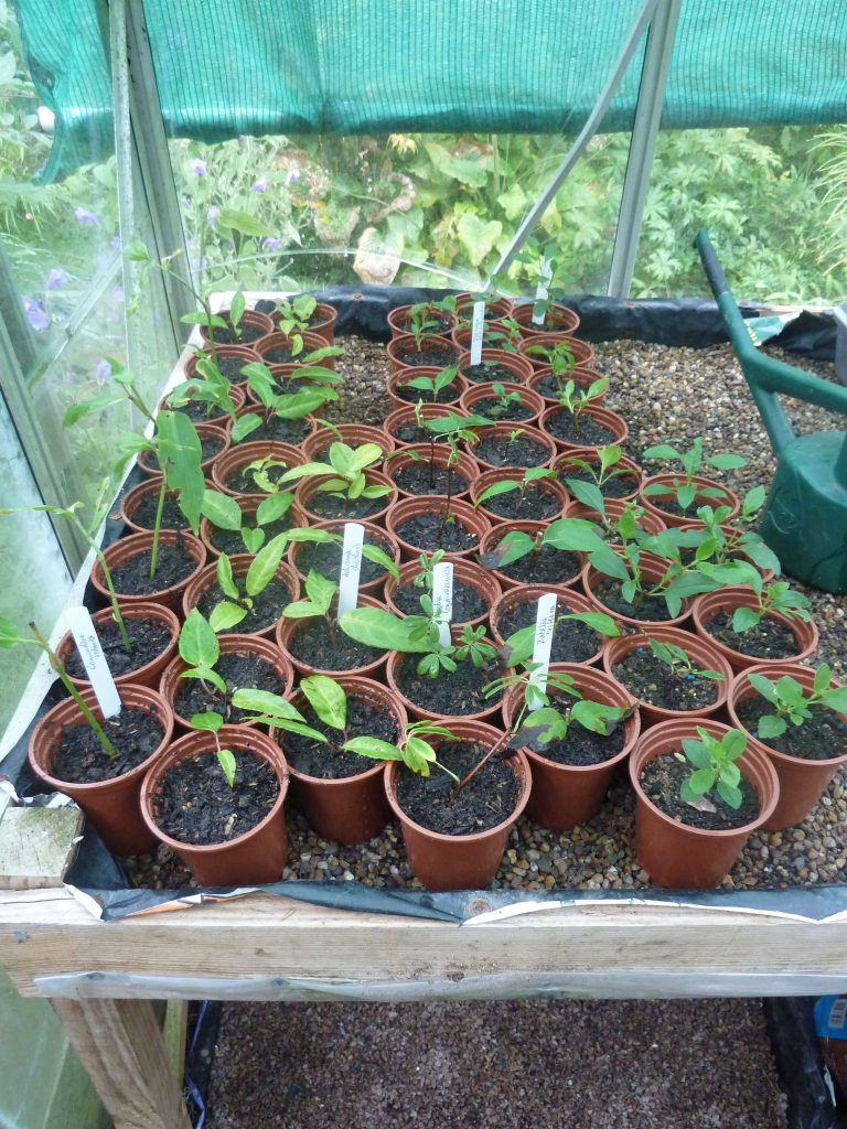 These rooted cuttings have been potted on. © peganum and re-used under CC BY-SA 2.0 licence.
