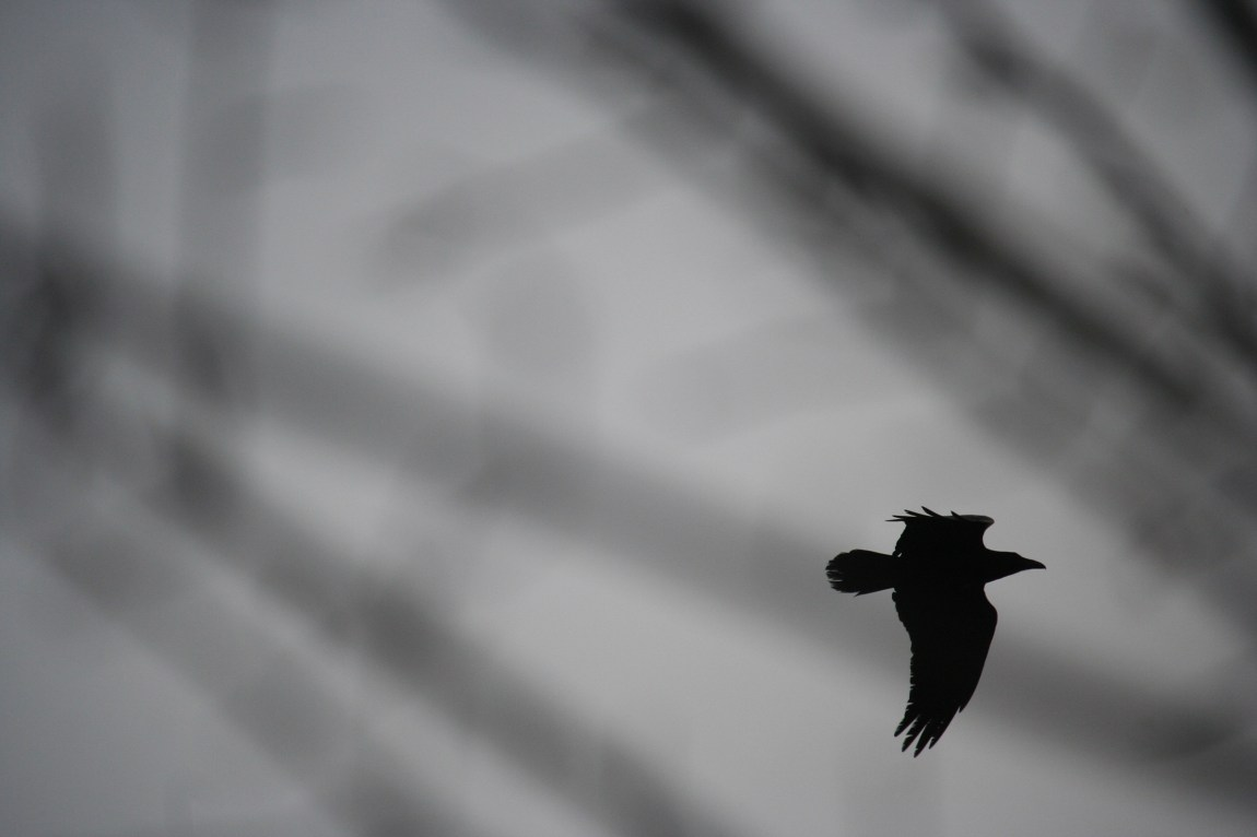 photograph black bird flying in silhouette
