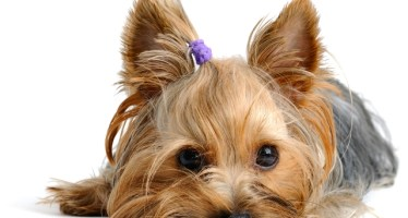 Puppy yorkshire terrier  on the white background; Shutterstock ID 56066764; PO: 10140192; Job: 10-HIWEE-SP-05-001-13 Small & Miniature Dry launch; Client: Hill's Pet Nutrition; Other: AM: Cesar Rojas. Client: Ricardo Marques