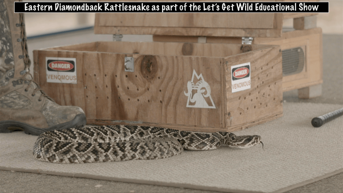 Eastern Diamondback Rattlesnake as part of the Lets Get Wild Educational Show