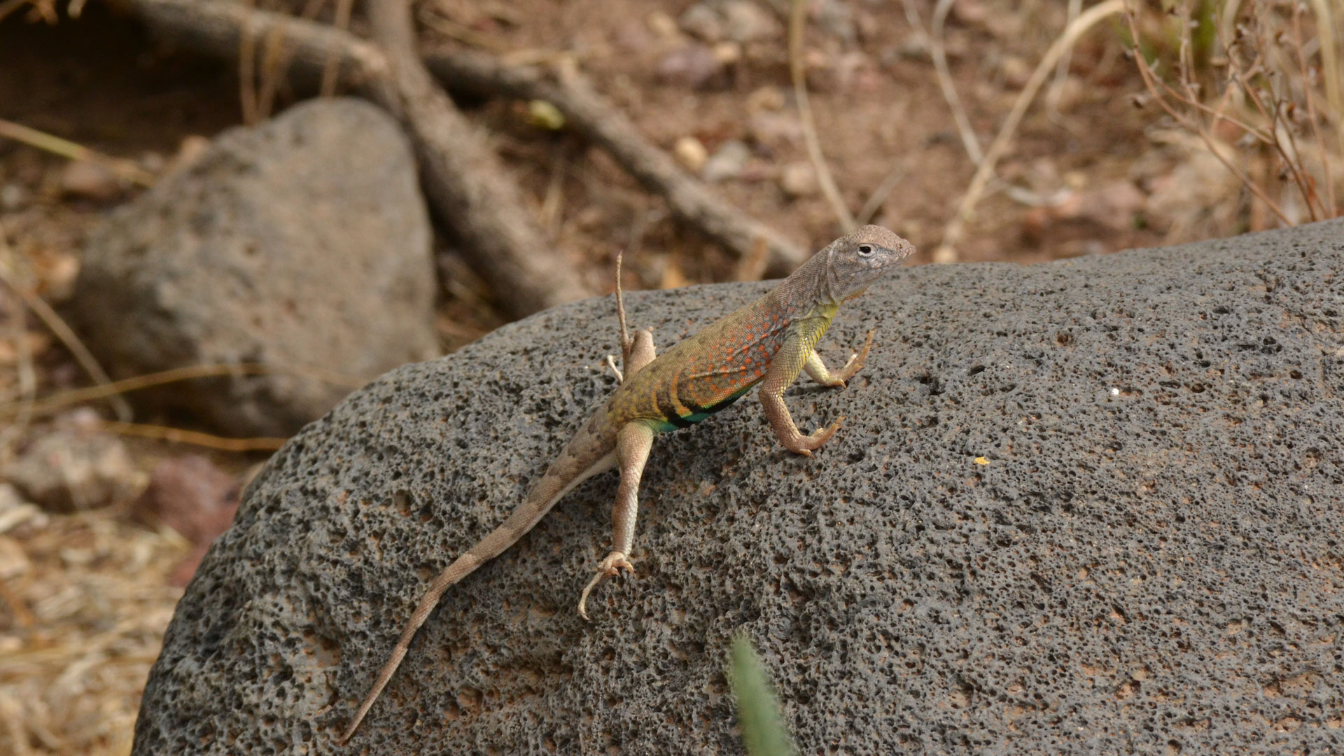 Greater Earless Lizards