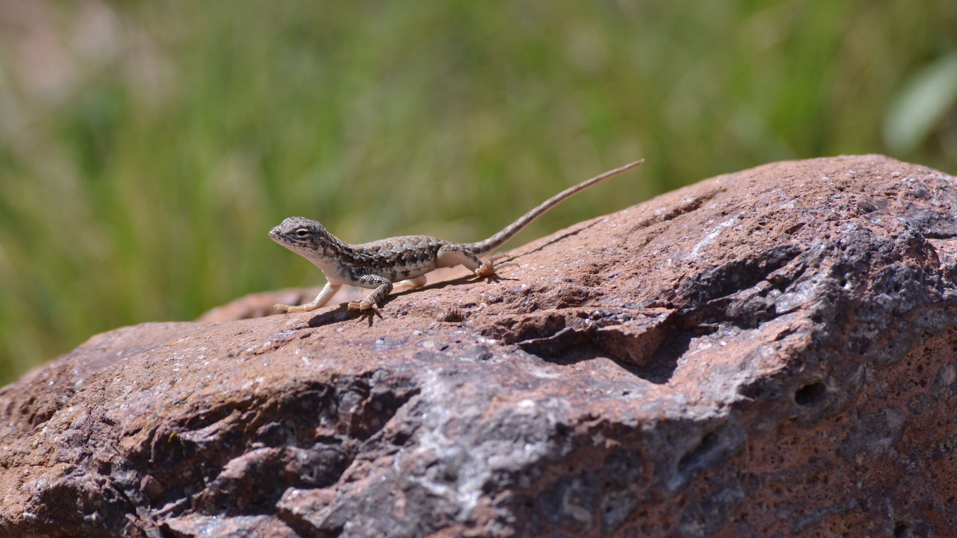 Lesser Earless Lizards
