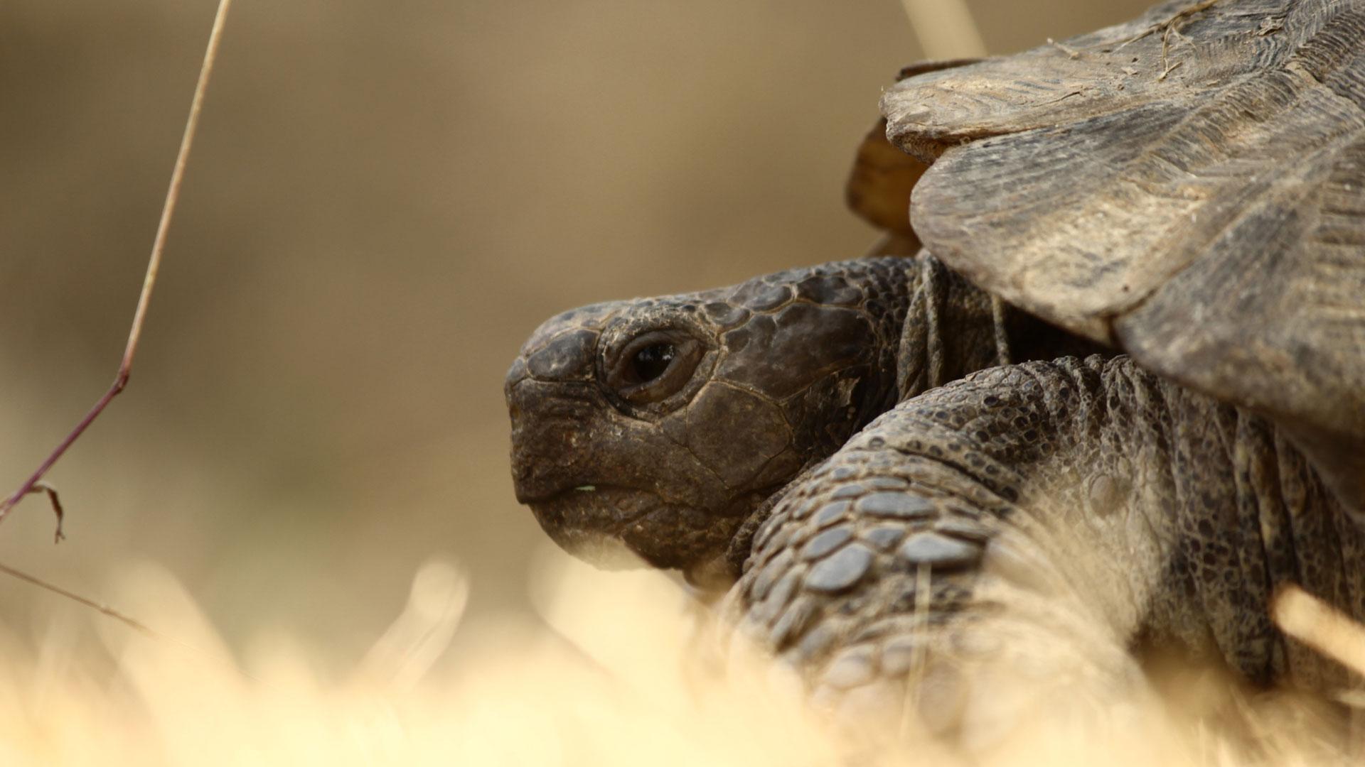 Texas Tortoises