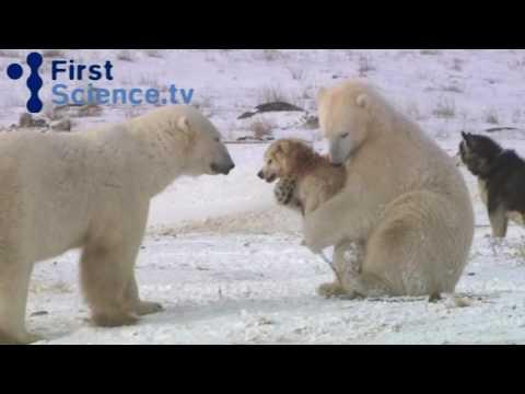 Perros jugando con osos polares