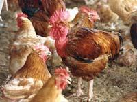 Donald Rumsfeld y el negocio del miedo aviar…