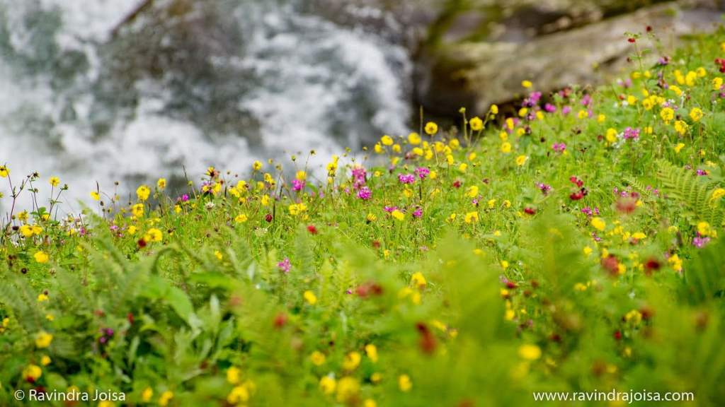 Meadows and wildflowers - Hampta Pass trek