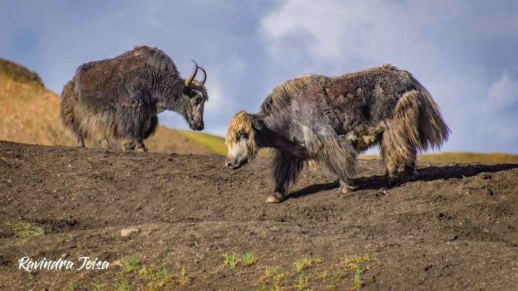 Wild Himalayan Yak