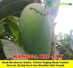 Mangga Kio Jay Unggul