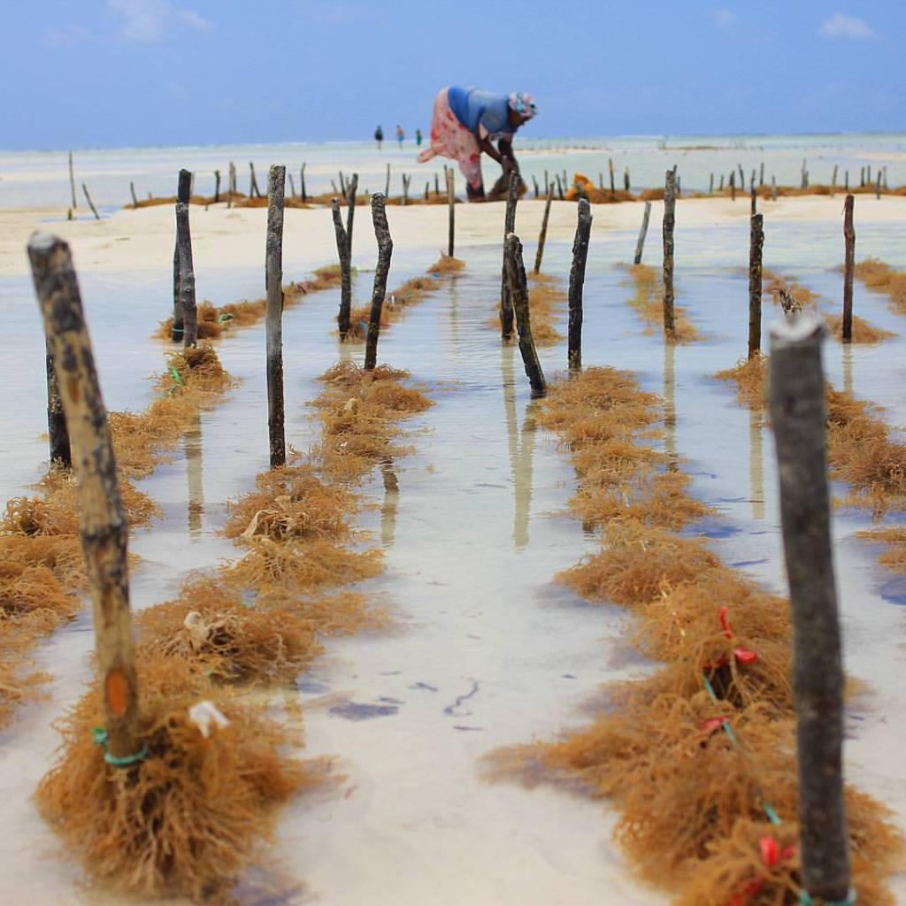 Seaweed Mama in Paje, Zanzibar -  Sonia Michaelsen Photography