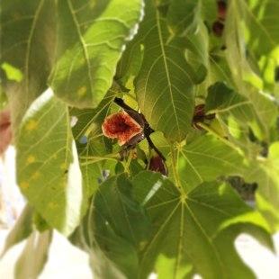 Reife Feige im Baum