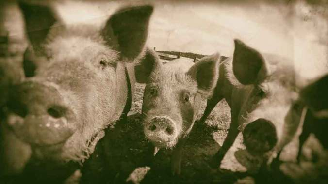 Hogs-USDA-Public-Domain