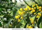 Mimosa, Yellow Fragrant Tree, blooming in January