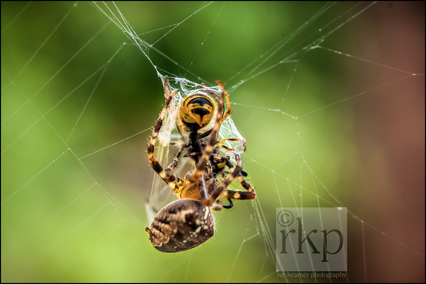 Spider fighting with wasp