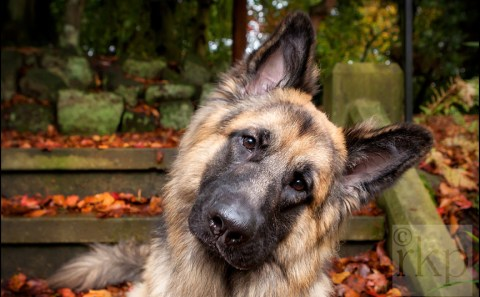 German Shepherd being cute in Denzell Gardens, Altrincham