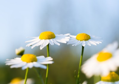 Beautiful chamomile flowers