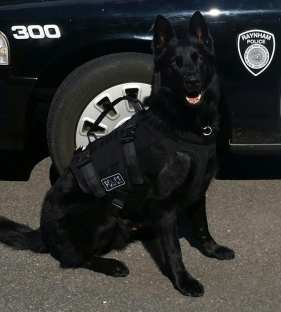 A photo of Raynham Police K9 Kyro, who helped to track and locate a suspect who fled from a crash Sunday night, Jan. 22. (Raynham Police Department)