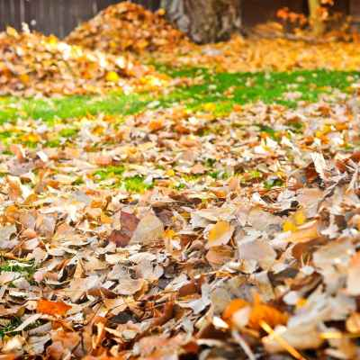 Fallen fall leaves cover the green grass and are piled up in a residential Connecticut yard, with a tree trunk in the background.