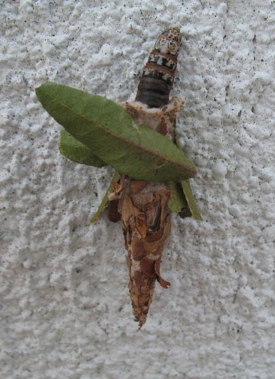 Bagworm with green leaves against a white wall