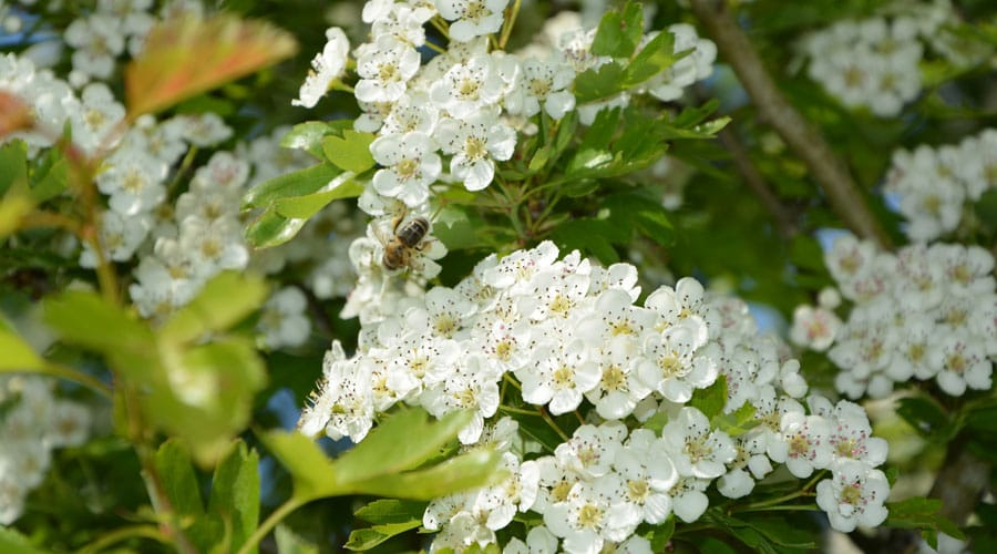 White flowers on a Hawthorne tree in Connecticut