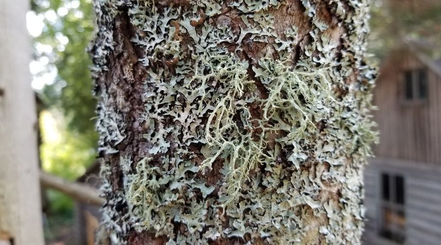 hairy lichen on a tree trunk