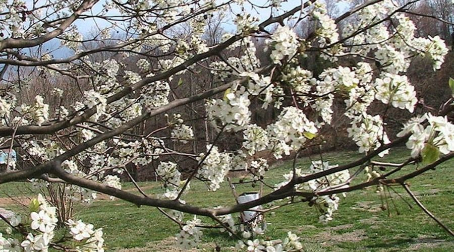 Blossoms on a callery pear tree in Connecticut, which have a distinctive unpleasant smell.