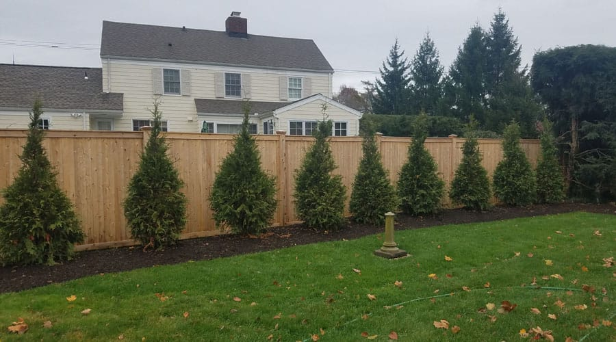 A row of newly-planted evergreen trees to form a hedge, planted by Rayzor's Edge Tree Service