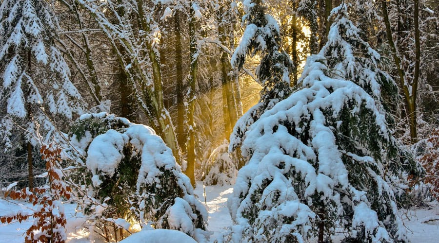 Snow weighs down the branches of evergreen trees, causing them to bow