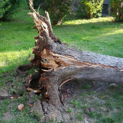 fallen tree with rotten roots