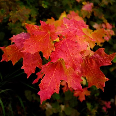 fall color on red maple leaves