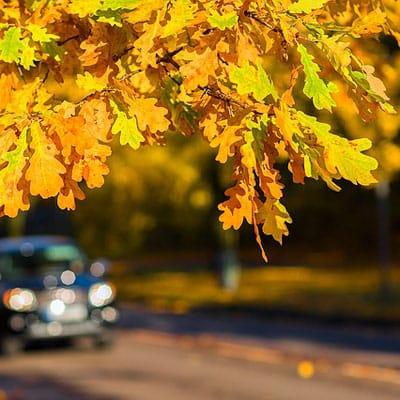 autumn leaf color on white oak