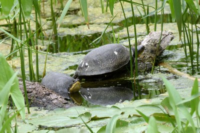 Adult Blanding's turtles at Brookfield Zoo's rearing pond. (JIM SCHULZ/CHICAGO ZOOLOGICAL SOCIETY)