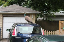 A peahen on top of a car in the 500 block of Grove Ave. on Saturday. Courtesy Chris Koertge.