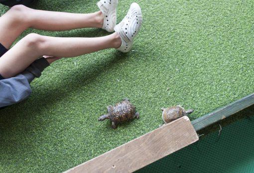 Turtles walk freely in a box for children to hold. | William Camargo/Staff Photographer