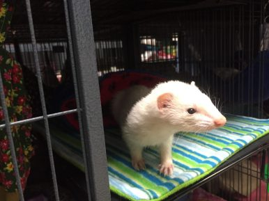 """The Greater Chicagoland Ferret Rescue's longest resident is named Lana Turner, after the Hollywood leading lady. Many ferrets end up at the shelter, said board chairwoman Martha Cannon, because """"people don't do their homework before buying ferrets,"""" which are """"labor-intensive"""" pets. 
