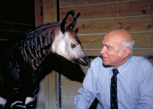 Dr. George Rabb gets up close and personal with an okapi, one of his favorite animals, at Brookfield Zoo, where he was director from 1976 to 2004. | Courtesy of Chicago Zoological Society