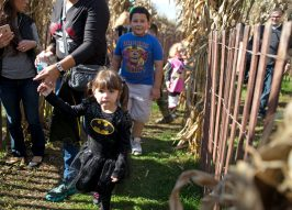 Families walk through a corn maze on Oct. 21, during the Boo at the Zoo event at Brookfield Zoo. | Alexa Rogals/Staff Photographer