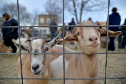 Children and families were able to pet goats, sheep, ducks and chickens at a free petting zoo on Dec. 2, at Veterans Memorial Circle during the annual Holiday Walk and celebration throughout Brookfield. | ALEXA ROGALS/Staff Photographer