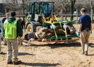 Layla, a 2,300-pound eastern black rhinoceros at Brookfield Zoo, is lifted by a front-end loader, manned by Greg Wall, an assistant lead groundskeeper, and brought to a portable CT scan in the zoo's Pachyderm House. The procedure was necessary in order for veterinary staff to determine a plan on how to treat an obstruction in Layla's nasal passageway. (Photo courtesy of Chicago Zoological Society)